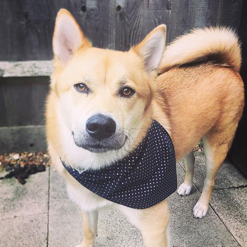 dog in blue pet bandana