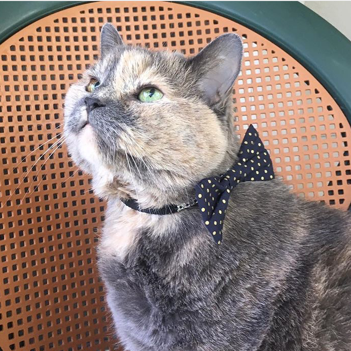 cat in polka dot pet bow tie