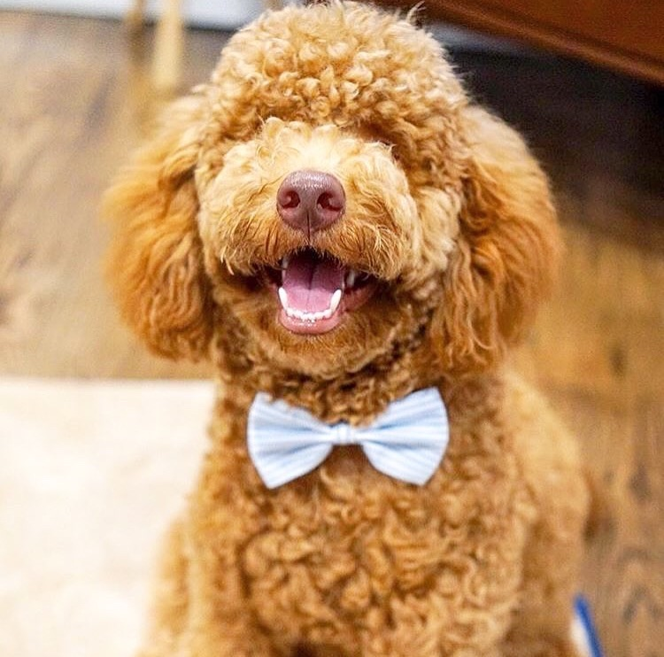 dog wearing striped blue bow tie