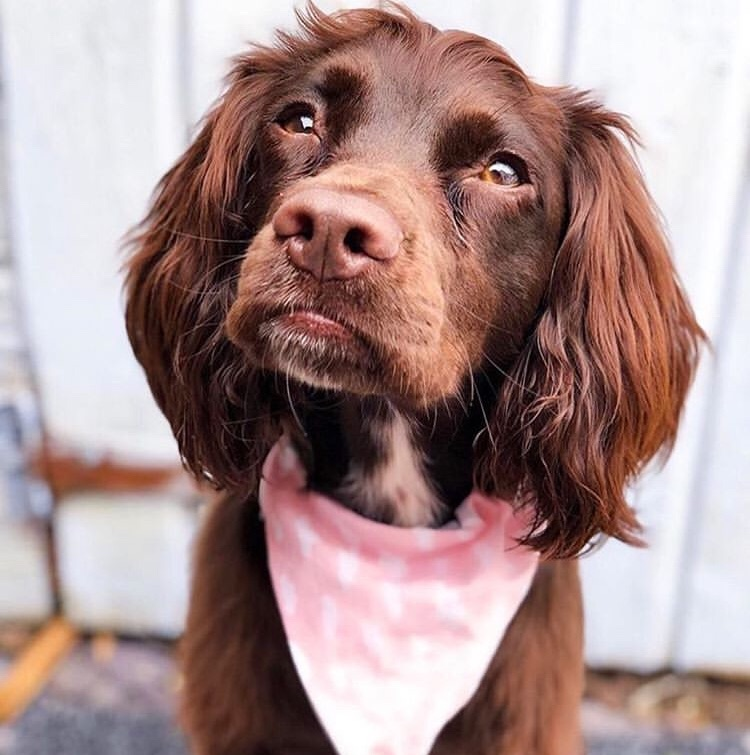 dog wearing pink dog bandana