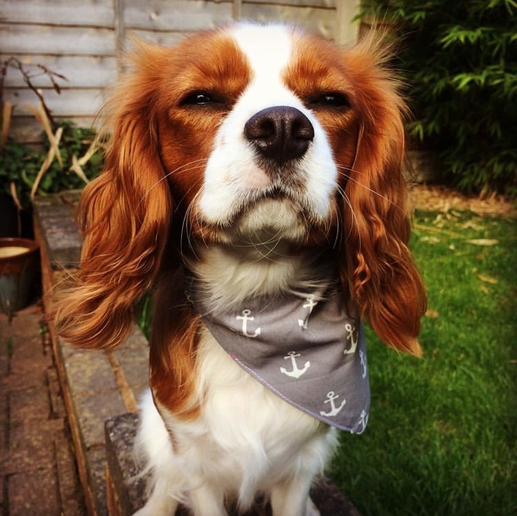 dog wearing grey anchor pet bandana