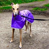Purple Rain Mac for Italian Greyhounds