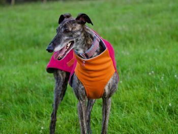 Sweat/Tee Shirt for Whippets, Hot Pink & Orange.