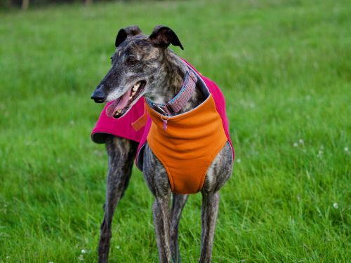 Sweat/Tee Shirt for Whippets, Hot Pink & Orange