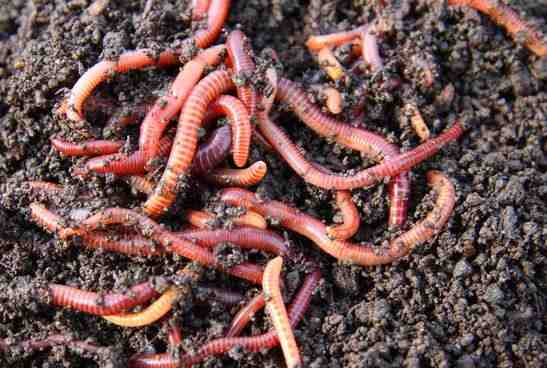 Septic Tank Worms