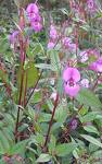 Septic Tank drainfields are ideal for growing Himalayan Balsam