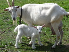 British Saanen goat with kid