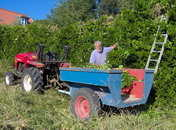 hedge cuttings to feed the animals
