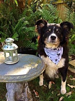 Border Collie Dog Bandana