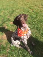 Pointer GSP Dog Bandana