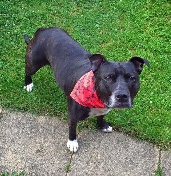 Staffordshire Bull Terrier Dog Bandana