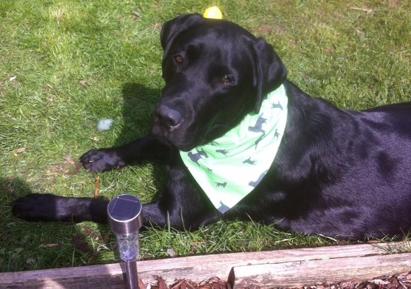 Buddy In Green Labrador Breed Silhouette Bandana