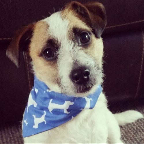 Jack Russell Terrier Dog Bandana
