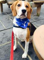 Beagle Hound Dog Bandana