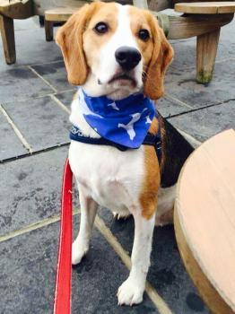 Beagle Hound Dog Bandana