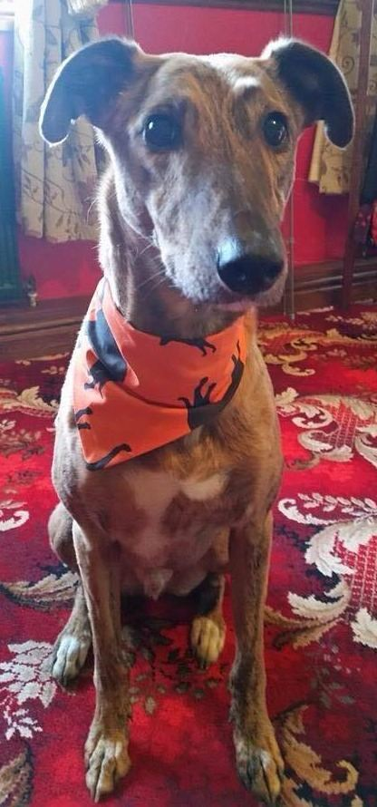 Lurcher Crossbreed Dog Bandana