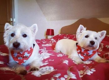 Westie West Highland Terrier Dog Bandana