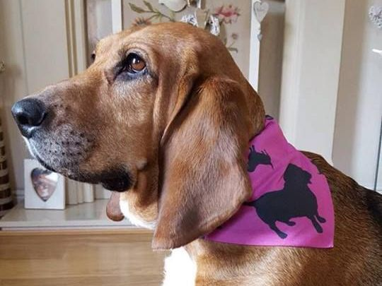 Downloadable Small ZukieStyle Slide Over Collar Pet Bandana Pattern