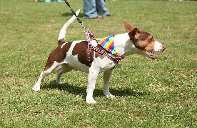 pride dog and cat bandana