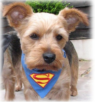 Superpup Superman Man Of Steel Superhero Dog And Cat Blue