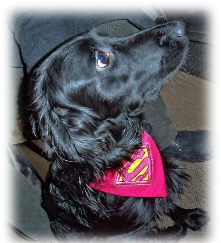 poppy-in-superpup-supergirl dog bandana