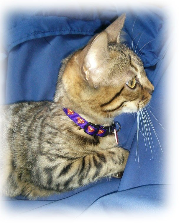 beanz superman cat collar