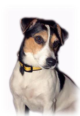 gemma-daisy-doo-daffodil yellow dog collar