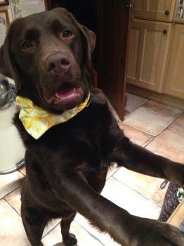 Welsh Daffodil Dog Bandana