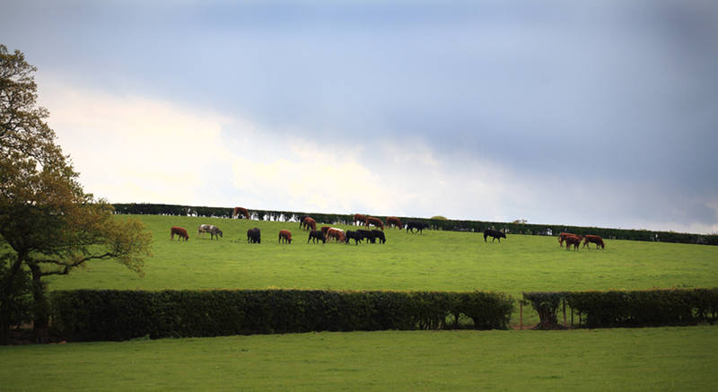 Cows in field (panoramic)