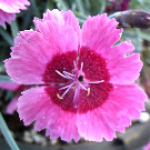 DIANTHUS India star