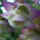 "ORIGANUM ""Kent Beauty"" (Oregano ""Kent Beauty"")"
