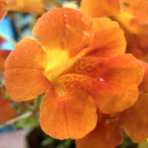 MIMULUS cupreus Highland Orange