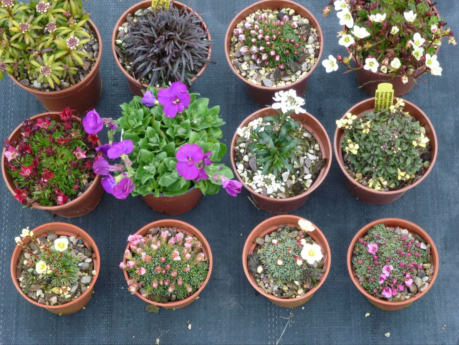 Lovely miniature alpine beauties suitable for planting in troughs and ideal in small pockets in the rockery.