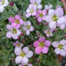 SAXIFRAGA Silver Cushion
