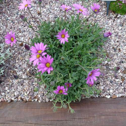 OSTEOSPERMUM Irish