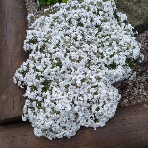 PHLOX subulata Amazing Grace