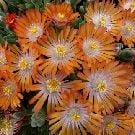 DELOSPERMA Jewel of the Desert Topaz (Ice plant)
