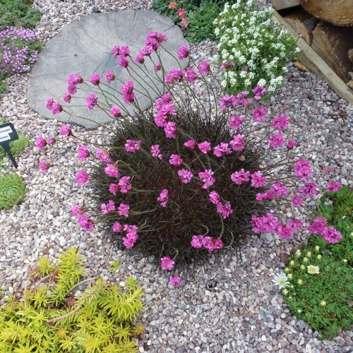 ARMERIA maritima In The Red