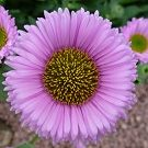 ERIGERON Four Winds