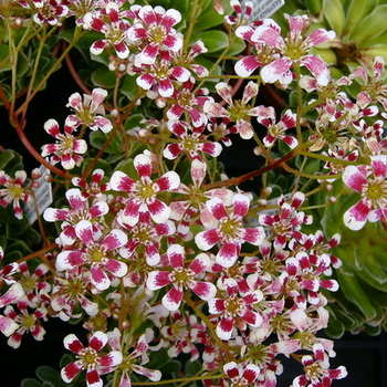 SAXIFRAGA Slacks Ruby Southside