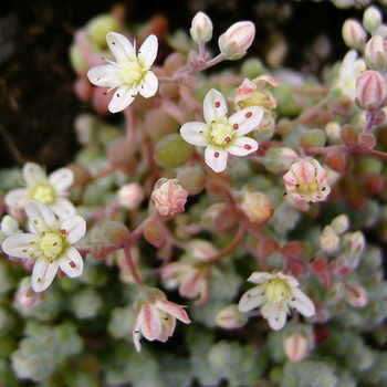 SEDUM brevifolium var.quinquefarium