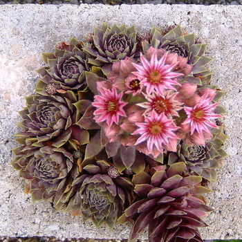SEMPERVIVUM Lavender and Old Lace