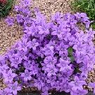 CAMPANULA Mrs Resholt (AGM)