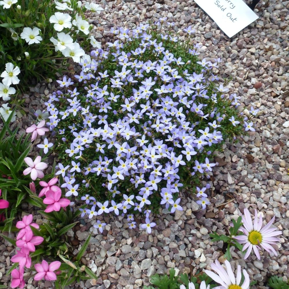 HOUSTONIA caerulea Millards Variety