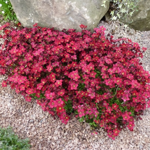SAXIFRAGA Touran Red