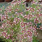 SAXIFRAGA southside seedling