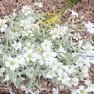 CERASTIUM tomentosum var.columnae