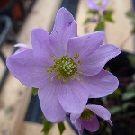 ANEMONELLA thalictroides rosea
