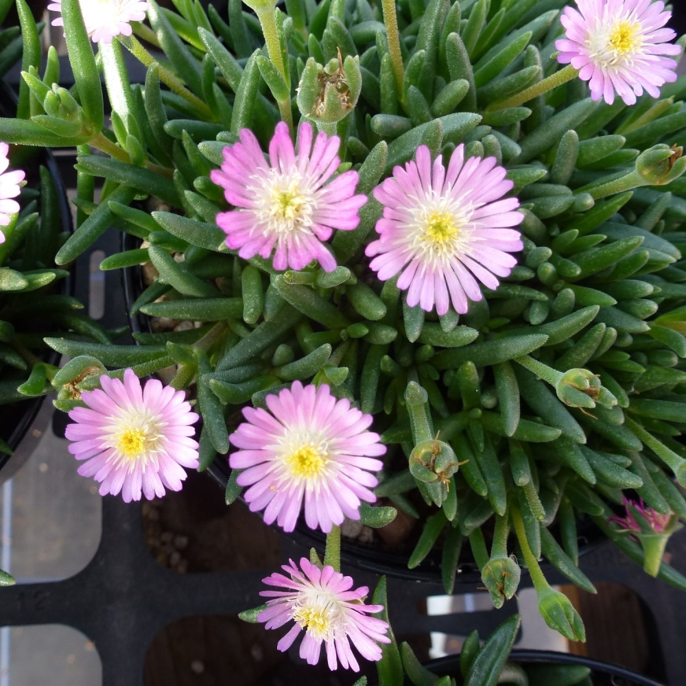 DELOSPERMA Jewel of the Desert Rosequartz
