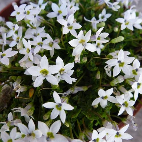 PRATIA pedunculata Alba